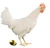 Kipmetde_gouden_eieren